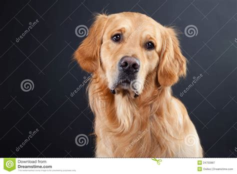 golden retriever in black golden retriever on black royalty free stock photography image 24750887