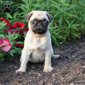 pug puppy mill pug puppies for sale in pa