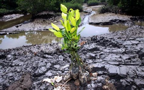 Bibit Mangrove bibit pohon mangrove foto 5 11832 tribunnews