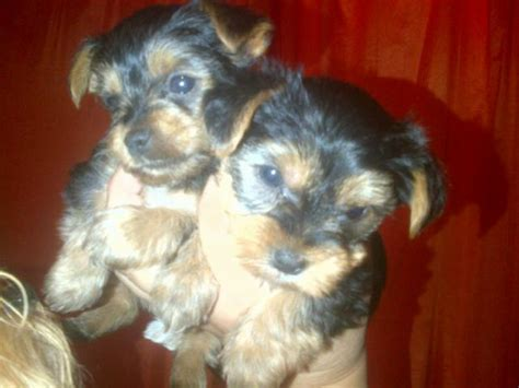 yorkie 6 weeks yorkie puppies for sale x 2 puppies for sale