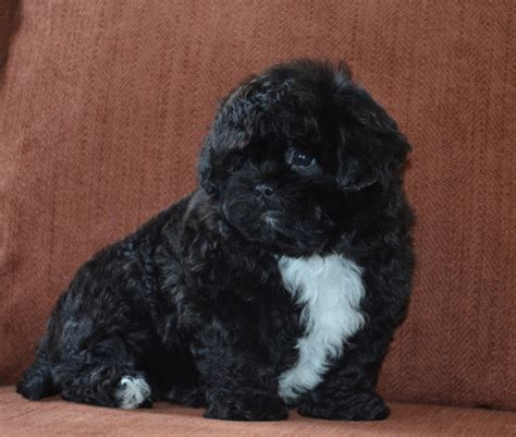 when are dogs grown peekapoo pekingese poodle mix information temperament puppies pictures