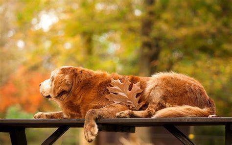 bench golden retriever park bench golden retriever leaf autumn hd wallpaper hd wallpapers
