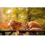 Golden Retriever Dogs  HD Desktop Wallpapers 4k