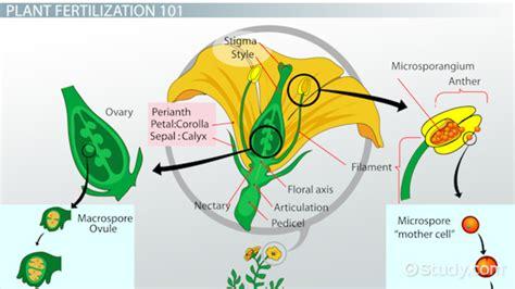 Resume Job History Order by Plant Fertilization Process Amp Definition Video Amp Lesson Transcript Study Com