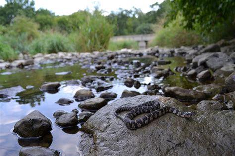 Garden Snake Habitat Northern Water Snake In Habitat Flickr Photo