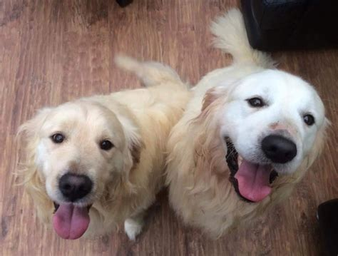 golden retriever rescue ireland charity overwhelmed at response to appeal to rehome adorable pairs of dogs