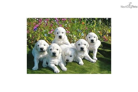 golden retriever breeders alaska puppies for sale from alaska s white gold goldens member since september 2005