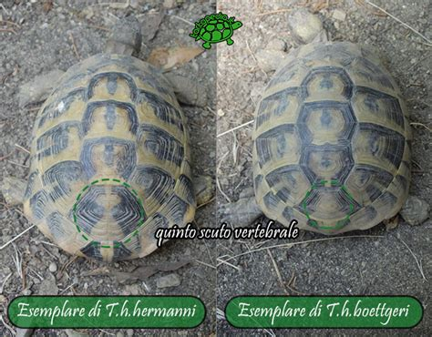 tartaruga hermanni alimentazione testudo hermanni hermanni e testudo hermanni boettgeri