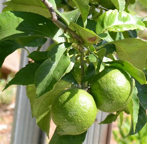 lime fruit trees harvesting limes learn how and when to a lime