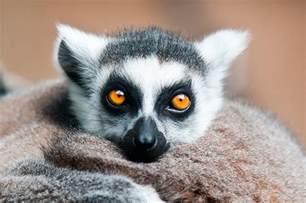 Tropical Plants Perth - ring tailed lemur by weaverglenn on deviantart