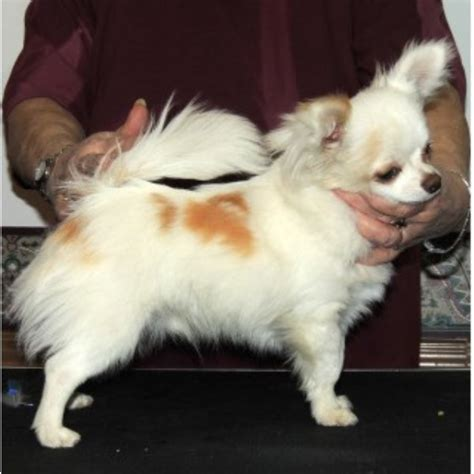 breeders in nc chihuahua breeders in carolina freedoglistings