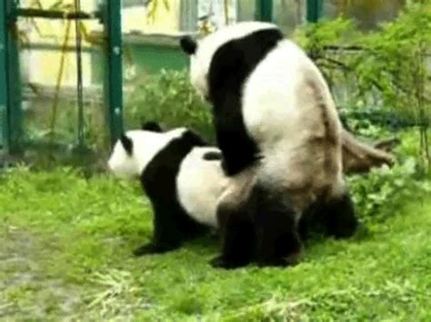 Sex Panda Meme - panda sex gifs find share on giphy