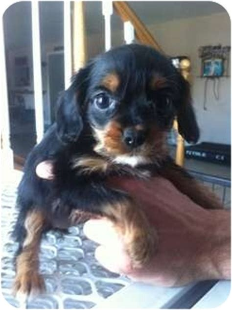 king charles yorkie mix cavalier king charles spaniel terrier mix breeds picture
