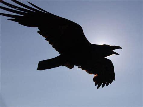 raven pictures pics images    inspiration