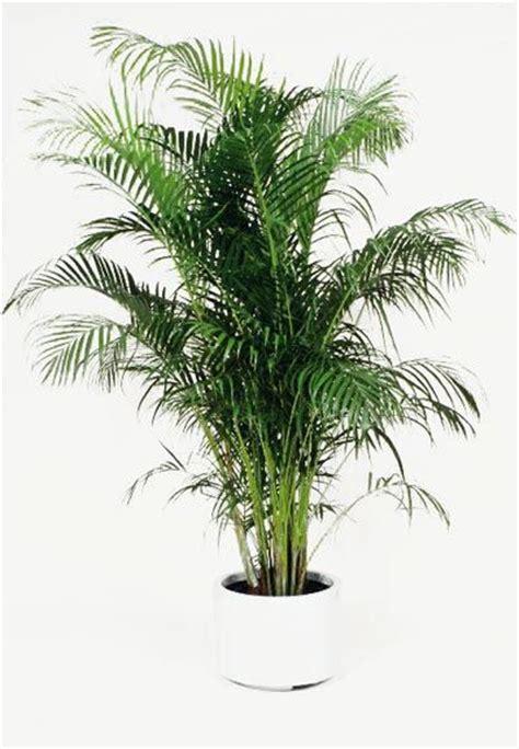 golden cane palm    glossy black  fluro pink