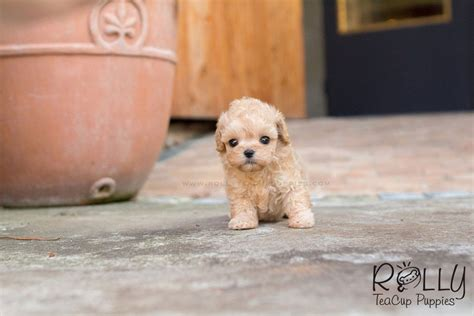 rolly teacup puppies prices poodle rolly teacup puppies
