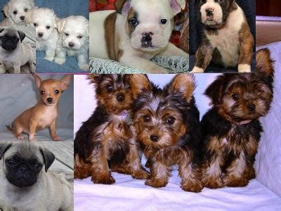 teacup pugs for sale australia teacup maltese yorkie chihuahua pug bulldog boxer puppies perth dogs for