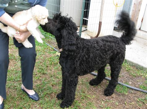 what s the size of a full size bed full size labradoodle www pixshark com images
