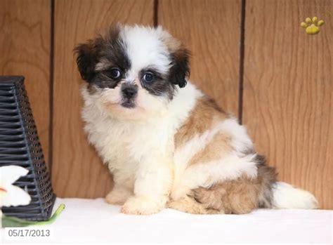 shih tzu puppies farmhouse andrew shih tzu lhasa puppy for sale in ronks pa shih tzu lhasa puppy for sale