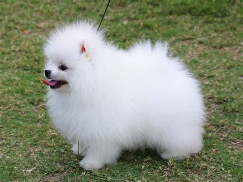 pictures of white pomeranians white lovely pomeranian 1600x1200 wallpapers pomeranian 1600x1200 wallpapers