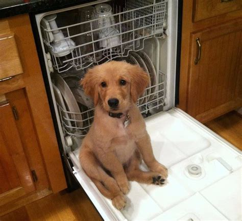 found golden retriever 15 reasons golden retrievers are such dorks and we them for it