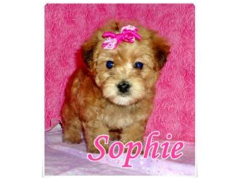 yorkie poo puppies for sale australia terrier puppies for sale yorkie poo yorkie shons