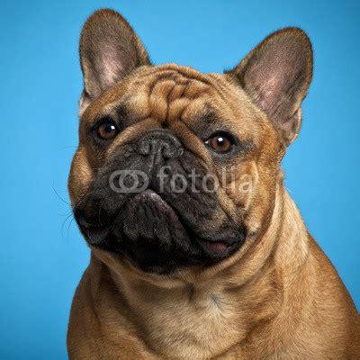 affordable bulldog puppies bulldog page 66 the universe of animals