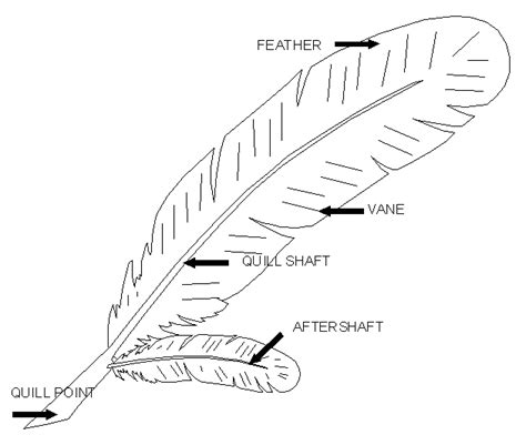 feather diagram chicken wing feather anatomy diagram images