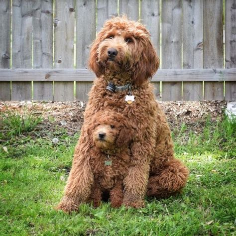 mini labradoodles va 17 best ideas about labradoodles on australian
