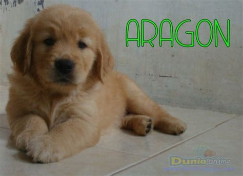 golden retriever puppies for sale in wales dunia anjing jual anjing golden retriever for sale 3