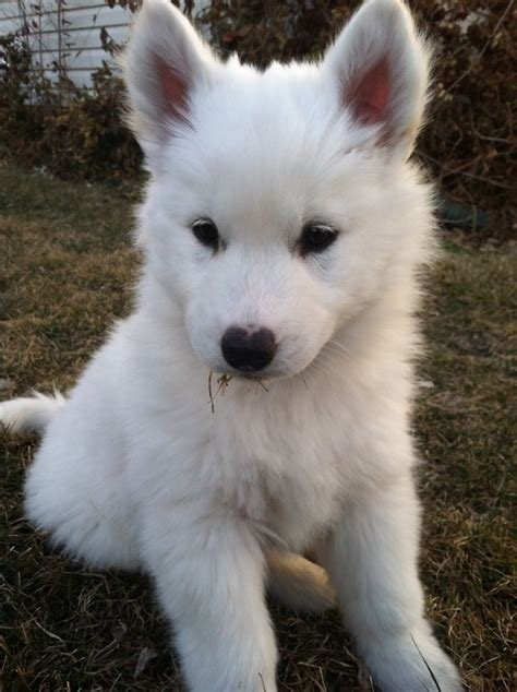 White Fluffy by Types Of Fluffy Puppies With Pictures Breeds Picture