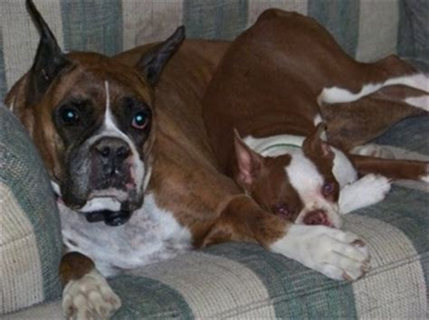 boxer boston terrier mix puppies for sale bulldog boston terrier mix puppies