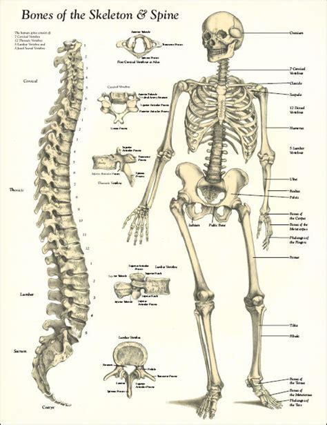 skeleton anatomy spine diagrams vintage bones of the skeleton and spine poster laminated 17 quot x 22
