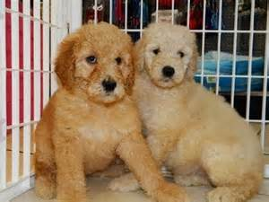 Golden Retriever Puppies For Sale In Jackson