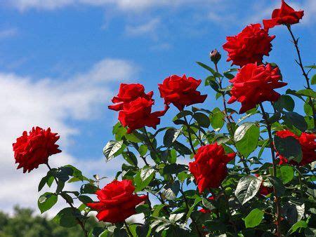 Sepatu Gats Malang flowers buscar con flores rosas