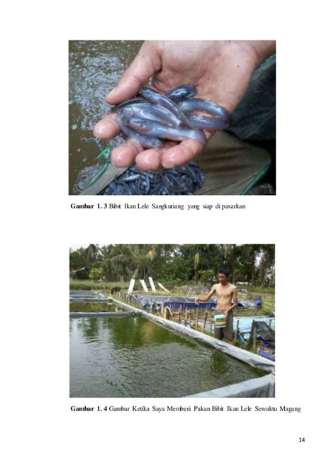 Pakan Ikan Lele Bibit usaha pembesaran bibit ikan lele unggul