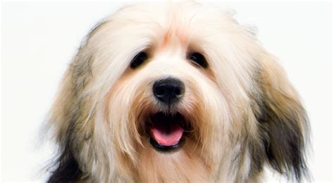 size of havanese havanese breed information american kennel club