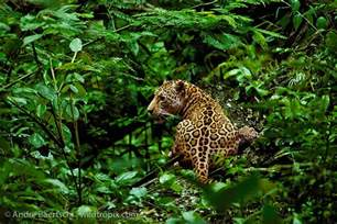 Jaguars In Rainforest Jaguar Panthera Onca In Lowland Tropical Rainforest