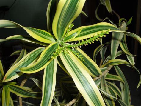 dracaena reflexa trees planet dracaena reflexa pleomele song of india