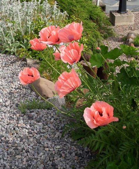 where to buy poppy flowers