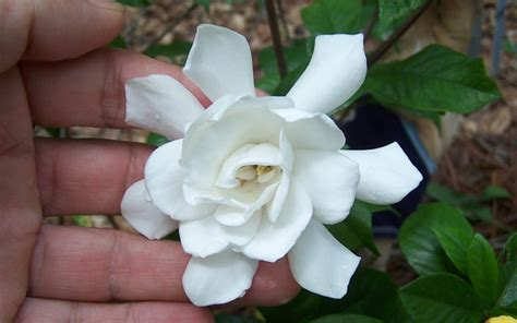 Gardenia Color Buy Fall In Gardenia For Sale Exclusively From