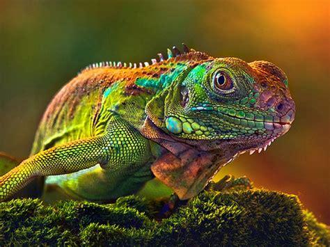 wallpaper hd camaleon  lizards change color