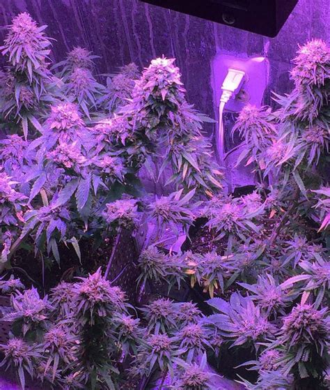 led flowering grow lights which led grow lights are best for growing cannabis