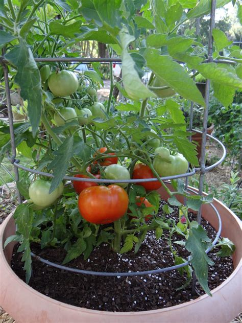 how to grow tomatoes in hot weather bonnie plants