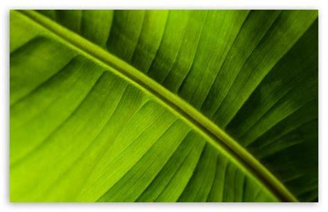 banana leaf hd wallpaper banana leaf 4k hd desktop wallpaper for 4k ultra hd tv
