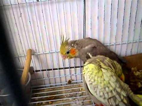 calopsitas (macho cinza e fêmea canela) com filhote pérola