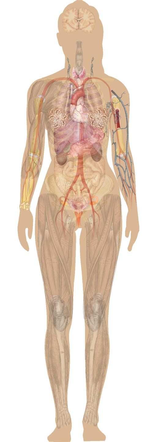 full female anatomy file female shadow anatomy without labels png