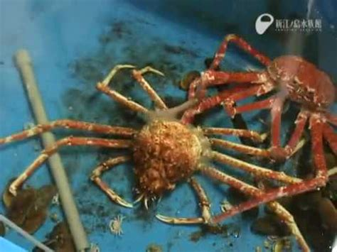 Why Do Tarantulas Shed Their Skin by Spider Crab Molting Time Lapse