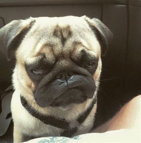 pug faced dogs 12 pictures of pugs and the faces they make