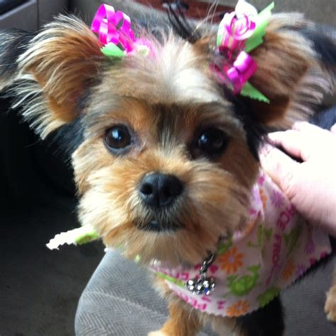 tea cup yorkie hair cuts 19 best yorkie poo haircuts images on pinterest yorkies